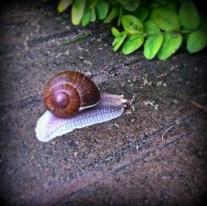 P snail